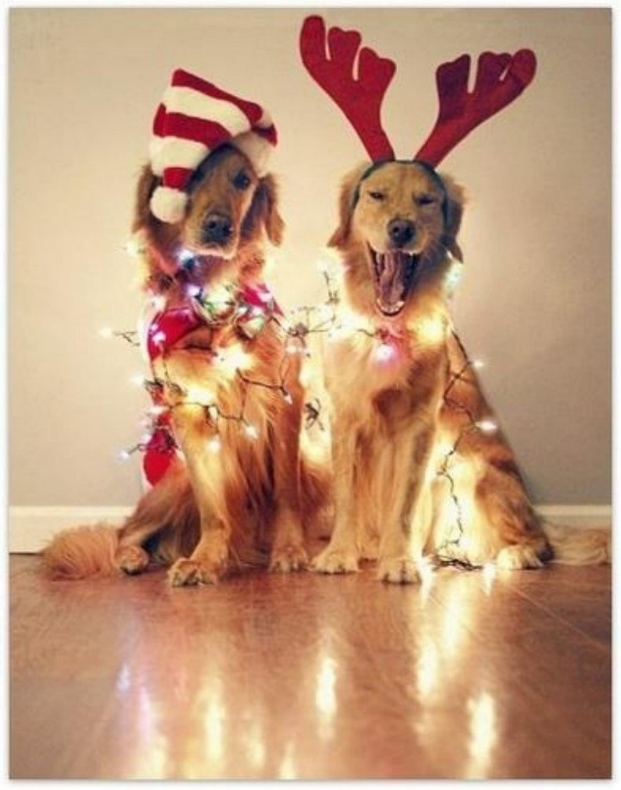 golden retriever in christmas lights