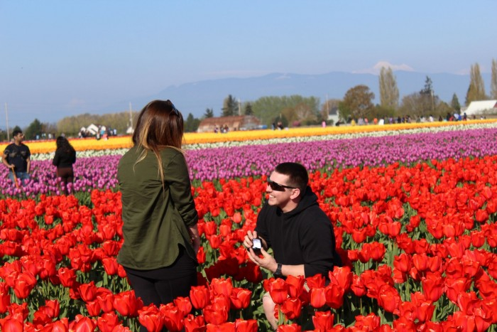 Down on one knee in the middle of a field of tulips