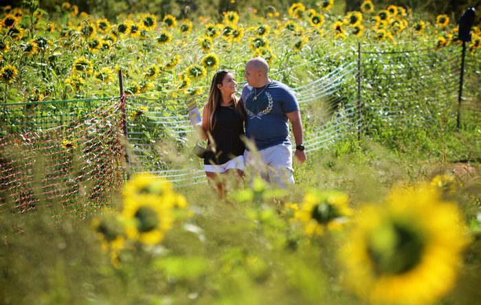 Bride and Mike's Engagement in Sunflower field, New Jersey